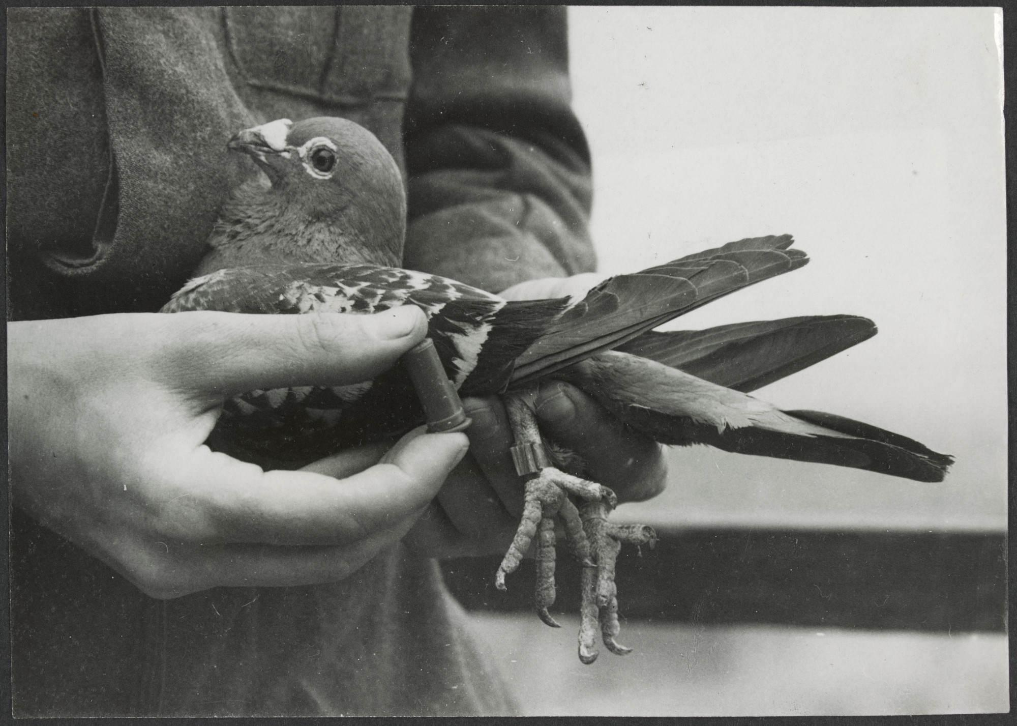 H2000 200 424 - Un soldat britannique accroche un message à un Pigeon dans une petite capsule